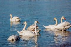 Лебеди и чайки на море Стоковая Фотография RF