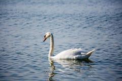 Лебеди и чайки на море Стоковое Изображение