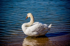 Лебеди и чайки на море Стоковые Изображения RF