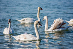 Лебеди и чайки на море Стоковые Изображения