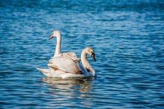 Лебеди и чайки на море Стоковое Изображение RF