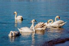 Лебеди и чайки на море Стоковые Фото