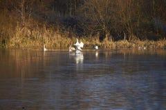 Лебеди и Signets стоковая фотография rf