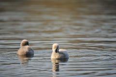 Лебеди младенца стоковые изображения rf
