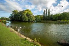 Лебеди на берегах озера, Бирмингема, Англии Стоковые Изображения RF