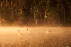 Лебеди на воде Стоковое Фото