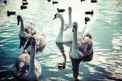 Лебеди на воде Стоковые Фото