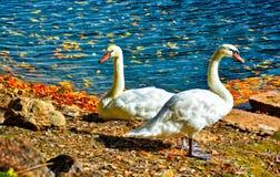 Лебеди на курорте и гостинице Broadmoor - красочных - с озером Стоковое Изображение