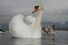 Лебеди на море Стоковое Фото