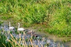 Лебеди на озере Справочная информация Стоковое Фото