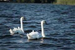 Лебеди на озере стоковое изображение