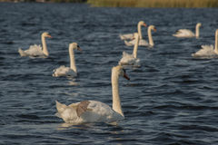 Лебеди на озере стоковая фотография rf
