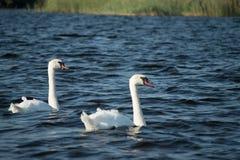 Лебеди на озере стоковое фото rf