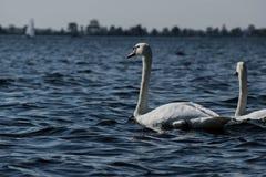 Лебеди на озере стоковое изображение rf