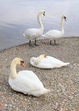 Лебеди на озере Leman, Швейцарии, Европе Стоковое Фото