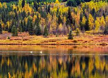 Лебеди на озере Turnagin, Аляске Стоковые Фото