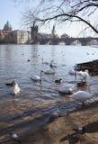 Лебеди на предпосылке Карлова моста в Праге Стоковые Фото