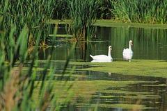 Лебеди на пруде в сельской местности Стоковые Изображения RF