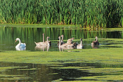 Лебеди на пруде в сельской местности Стоковое фото RF