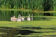 Лебеди на пруде Стоковые Фотографии RF