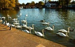 Лебеди на реке Эвона Стоковые Изображения