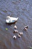Лебеди на реке Эвоне, Стратфорд-на-Эвоне Стоковая Фотография