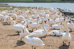 Лебеди на Abbotsbury Дорсете Стоковая Фотография