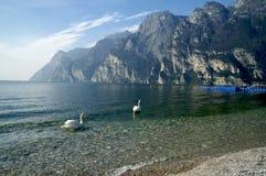 Лебеди на Lago Di Garda, Италии Стоковое Изображение RF