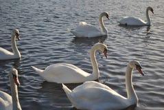 Лебеди, озеро каное в Портсмуте Стоковое Изображение RF