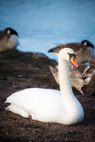 Лебеди отдыхая на береге в Хельсинки Стоковая Фотография RF