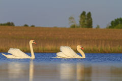 Лебеди по-одному плавая на озеро стоковое изображение