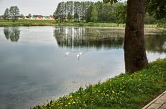 Лебеди плавают в сельском пруде против фона домов в деревне Стоковая Фотография RF