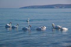Лебеди плавая в море зимы Стоковая Фотография RF