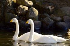 Лебеди плавая Стоковые Фото