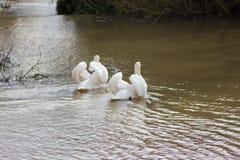 Лебеди плавая в озере Стоковое Изображение RF