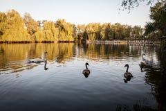 Лебеди плавая на озере Стоковая Фотография