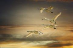 Лебеди трубача на заходе солнца стоковые фотографии rf