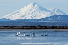 Лебеди трубача плавая перед Mt shasta Стоковая Фотография RF
