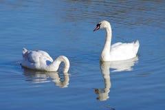 Лебеди трубача Стоковое Изображение RF