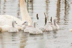 Лебеди трубача Стоковое Изображение