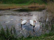 Лебеди -› ÐΜбÐΜÐ'и Ð Стоковое Изображение RF