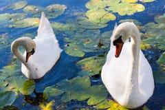 Лебеди стоковое фото