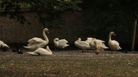 Лебеди сток-видео