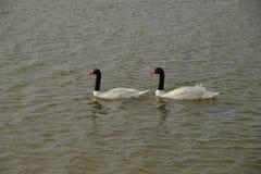 Лебеди Blacknecked на озерах Qudra Al, Дубай Стоковое фото RF