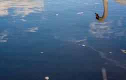 Лебеди Refelction Стоковые Изображения