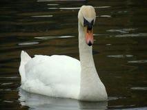 Лебедь, большой Стоковые Фотографии RF