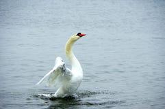 Лебедь во время взлета Стоковое Изображение