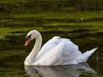 Лебедь водорослей Elins Стоковое Изображение