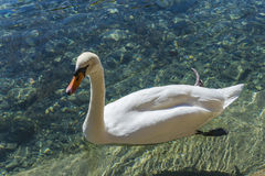 Лебедь в Анси Стоковое Фото