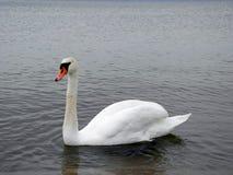Лебедь в Балтийском море Стоковая Фотография RF